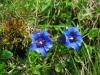альпийские цветочки